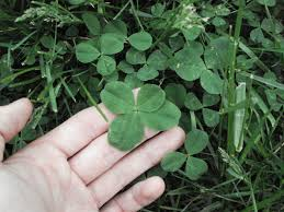 4 leaf clovers a finder u0027s guide 8 steps