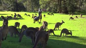 cheeky troop of kangaroos interrupt golf game after invading