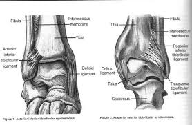High Ankle Sprain Anatomy The High Ankle Syndesmotic Sprain Sports And Chiropractic