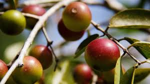 native plants in the amazon rainforest will camu camu be the next amazonian u0027it u0027 fruit the salt npr