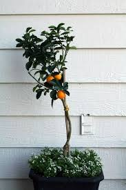 mini trees that bring shade and color to your terrace housublime
