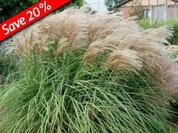 51 best ornamental grasses images on ornamental