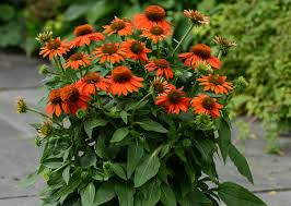 7 hardy perennials to plant and enjoy now garden club