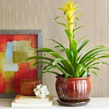 indoor plants bromeliad good indoor plants gallery xtend