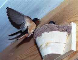 Barn Swallow Nest Pictures Artificial Barn Swallow Nests