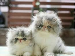 beautiful kittens 20 cat breeds who make the cutest kittens