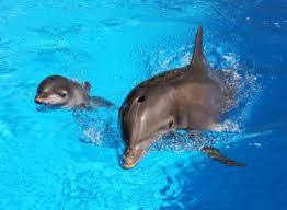 Male Dolphin Anatomy Dolphin Pregnancy And Birth