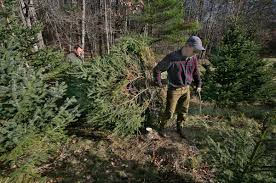 tis the season for cutting your own christmas tree local news