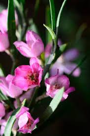 australian native plants with purple flowers 32 best australian flowers greeting cards images on pinterest