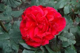 legends rose rosa u0027legends u0027 in denver arvada wheat ridge golden