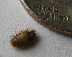 bugs in bedroom carpet beetles bed bug paranoia spawns cleaning frenzy what s