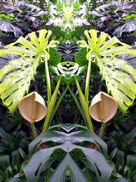 philodendron wild split leaf philodendron flowering in central mexico happy