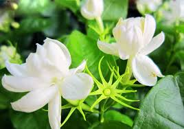 Fragrant Jasmine Plant - aliexpress com buy sale white jasmine seeds jasmine flower