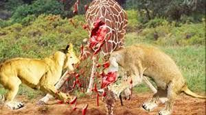 awesome lions kill giraffe youtube