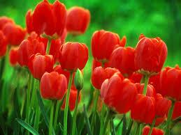 wallpaper bunga tulip hd bunga tulip wallpapers download free 473224