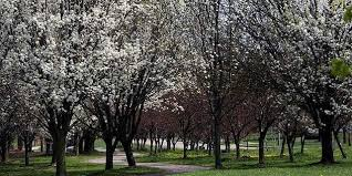 bradford pear tree smell business insider