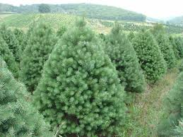 scotch pine christmas tree christmas tree varieties from fraser fir to scotch pine