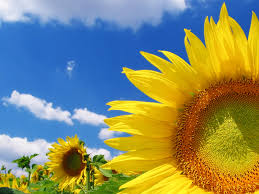 high quality sunflower wallpapers hd wallpapers