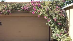 how to train bougainvillea great gardening youtube