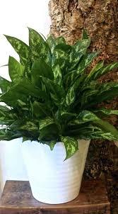 houseplants that need little light indoor house plants low light houseplants indirect medium