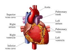 Human Body Picture How Your Heart Works Howstuffworks