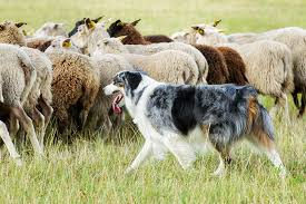 australian shepherd herding sheep border collie dog breed information pictures characteristics