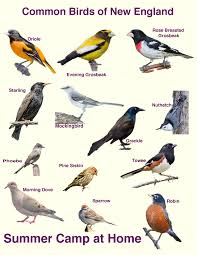 Massachusetts birds images Bird watching challenge and bird book summer camp at home jpg