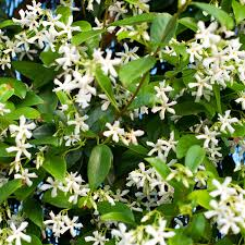 trachelospermum hardy jasmine climbing plant 80 120cm tall
