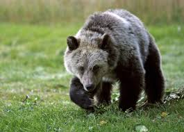 Bears Montana Hunting And Fishing - hunt opponents accuse wyoming of dipping into montana grizzly kill