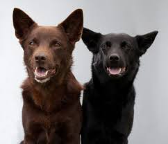 Bench Kelpie Puppies Sale Red Dog U2013 Could The Red Kelpie Be Your Next Family Pet Adelaidevet