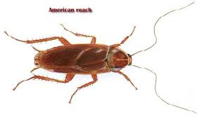 light brown roach looking bug roaches and their control united exterminating company cherry