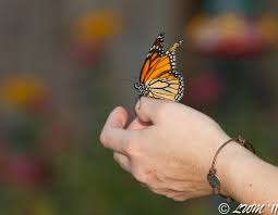 monarch butterfly with deformed wings butterfly and wildlife