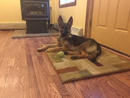 belgian malinois weight at 8 months 6 month female weight and size german shepherd dog forums