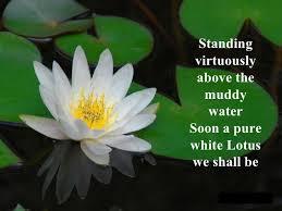 Lotus Flower In Muddy Water - the lotus seed