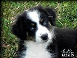 australian shepherd with blue eyes sky blue aussies bella black tri with blue eyes australian