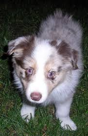australian shepherd new hampshire desert willow aussies
