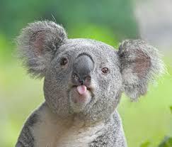koala mitens needed album on imgur