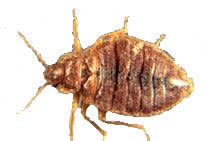 Bed Bugs In Ohio Bugs