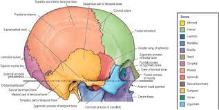 Bones That Form The Cranium Craniofacial Anatomy And Embryology Pocket Dentistry