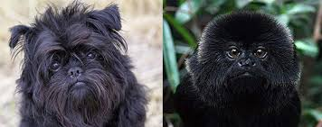 affenpinscher and chihuahua chinese new year the year of the monkey dogbuddy blog