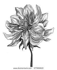 wild dahlia flower blossom botanical retro stock illustration