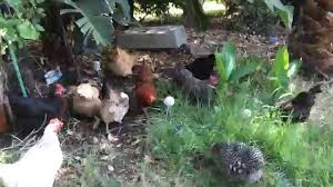 free range chickens take over yard u0026 get rid of bugs youtube