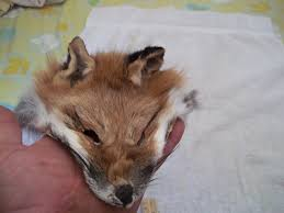 real animal fur tanned red fox face head taxidermy skin pelt