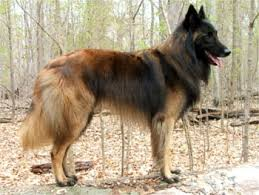 belgian shepherd rescue dogs a belgian tervuren is a serious and watchful breed with a
