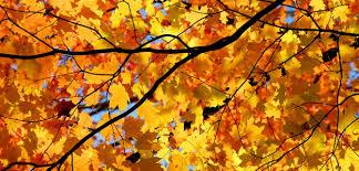 autumn foliage magic maples bombay outdoors