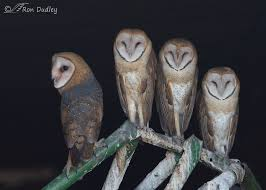 Where Does The Barn Owl Live A Question Of Compatibility Among Owl Species Feathered Photography