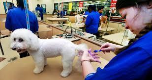bichon frise breed standard bichon frise dog breed information pictures and videos pets world