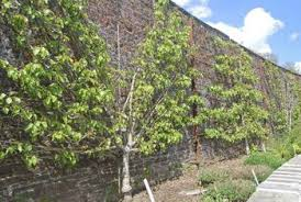 are there fruit trees that can grow flat against a wall home