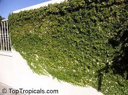 Tropical Climbing Plant - ficus pumila ficus repens climbing fig creeping fig