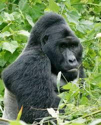 Gorilla by Eastern Gorilla Wikipedia